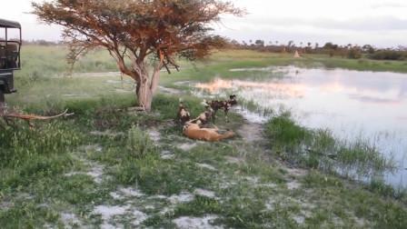 3只野狗掏肛羚羊,仅用数10秒羚羊就被咬死,猎杀场面太残忍