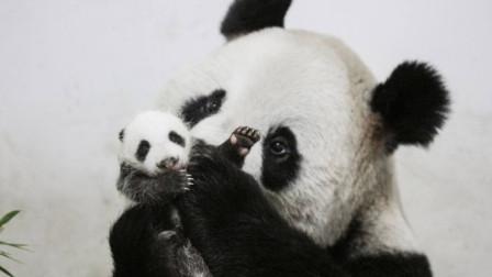 熊猫搂紧孩子不撒手,本以为是个王者,奶妈拿出牛奶,画风立马变了