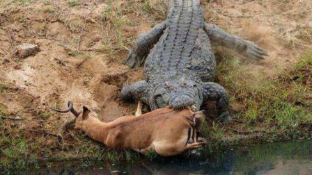 鳄鱼咬住羚羊不放,不料却被羚羊一腿插进喉咙,镜头记录全过程