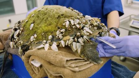 可怜的海龟沦为了藤壶的载体,看着都难受,全靠人类出手相救