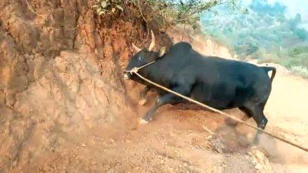 农村的黄牛发飙了,看起来挺吓人的,谁能招架得住?