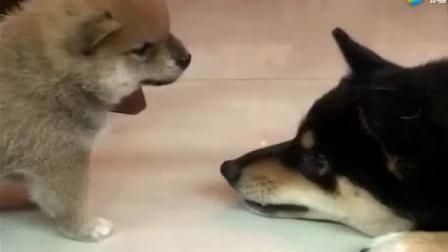 刚出生的小柴犬居然这么凶,连它爹都认怂了!厉害