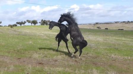 两只黑马对峙,左边想要先发制人,没想到后边的马儿出手速度极快