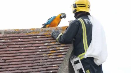 鹦鹉生气决定离家出走,消防人员上房劝它,结果鹦鹉开口跪