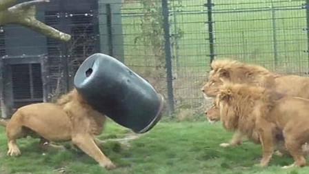 狮子因为好奇,将头伸进桶里,结果出不来了,下一秒憋住不要笑