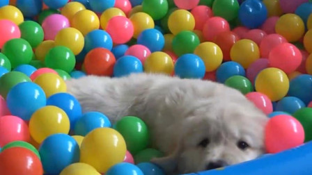 狗狗太爱玩玩具球了,感觉上辈子它就是一个玩具球