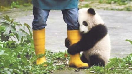熊猫错把靴子当美食,紧抱奶爸大腿一口咬下去,逼得奶爸赤足爬树