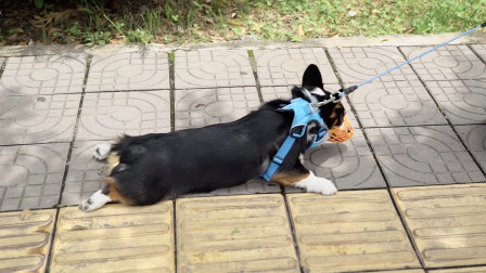 带柯基去逛公园,半路狗狗赖着不走,非要抱抱【柯基自驾游5】