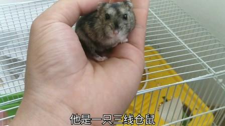 7天没见的小仓鼠,任主人抚摸,咬主人手的样子更可爱啊!