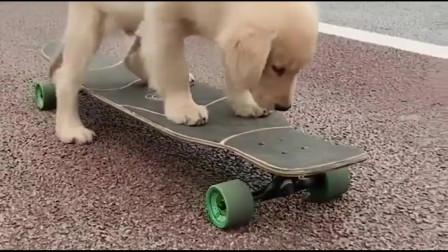 金毛在玩滑板,真的太可爱了,非常搞笑