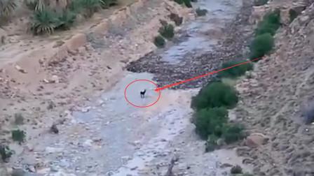 淡定驴遇到洪水不慌不忙,直接站在原地观望,镜头记录全过程
