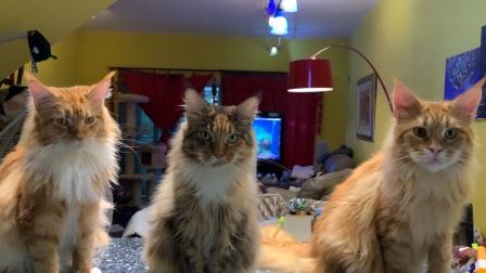 小姐姐养了三只缅因猫,每天要吃50元的生骨肉,笨蛋一号二号三号排排坐哈哈!