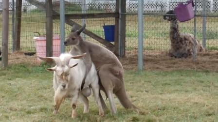 袋鼠骑在暴躁山羊身上,怎么撵都不下来,网友:袋鼠怕是要倒霉了
