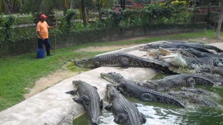 小伙穿着拖鞋喂鳄鱼,完全不把鳄鱼放在眼里,鳄鱼:我不要面子啊