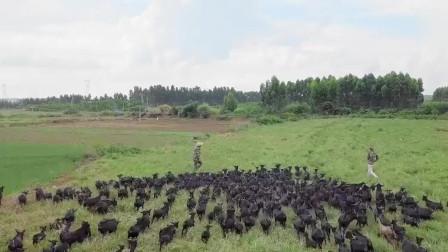舌尖上的美食:黑山羊最好的天然牧场!小伙回乡养殖黑山羊,选择散养提高肉质!