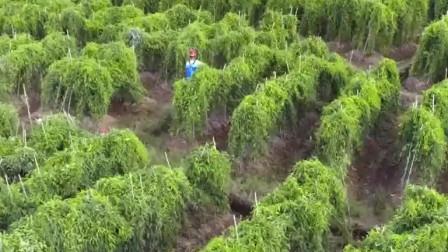 舌尖上的美食:农民种植姜薯一串4斤多,想要挖它需要一定技术!