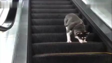 铲屎官把哈士奇落在了超市里,结果二哈走了一天,也没下来电梯