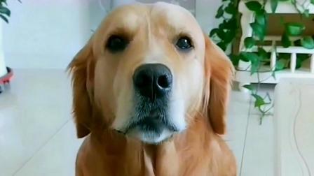 金毛听到女主人说一会要来个小母狗,金毛立马梳妆打扮,太真实了