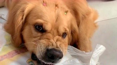 金毛把新狗粮当成宝贝,主人碰一下金毛就气的呲牙咧嘴,太搞笑了