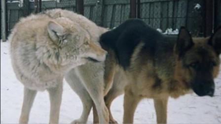 爷爷救回一头狼,没想到和自家狗生下了孩子,看完忍住别笑