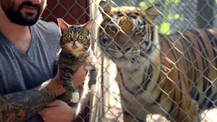 将猫和老虎放在一起,猫会不会被吃掉?网友:不愧是老虎的师傅!