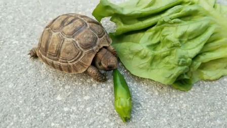 最辣的死神辣椒,被乌龟吃掉后,下秒到达龟生巅峰