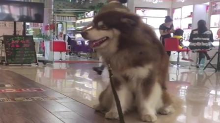 阿拉斯加:陪个女人逛街,真是麻烦,热死狗了