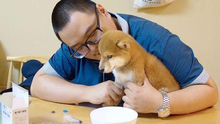 主人给柴犬宝宝吃药,没想到它却做出了如此出人意料的举动