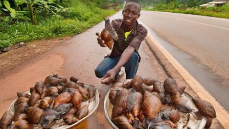 原来非洲人也是吃货,满山遍野的大蜗牛,活生生被吃得快灭绝