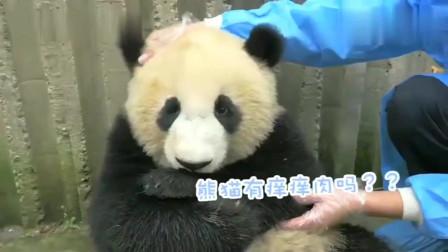 萌宠:熊猫有痒痒肉吗,痒也挠不到,腿短的痛