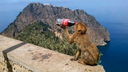 猴子抢走游客的可乐,跑到一旁抱起来就开始喝,下一秒忍住别笑