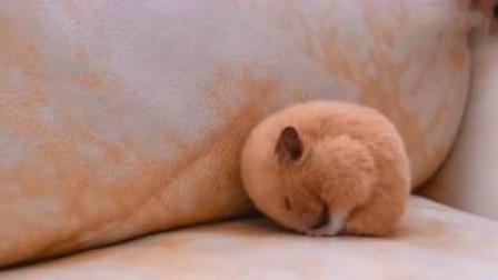 金丝熊正在沙发上睡觉,主人叫它回窝睡,结果小家伙竟然生气了