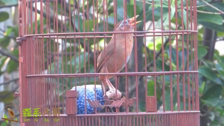 画眉鸟斗志昂扬,唱歌的功力十足,尾巴勾杆,站姿漂亮!