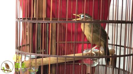 清脆嘹亮的画眉鸟歌声,静静聆听,给你带来美丽的心情!