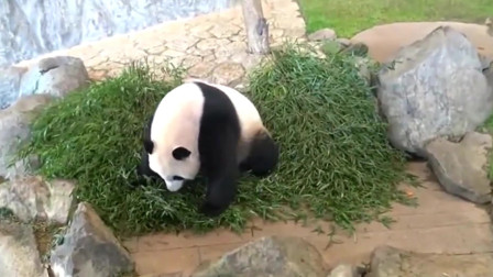 熊猫:熊猫在地上寻找零食,好一个实力吃货