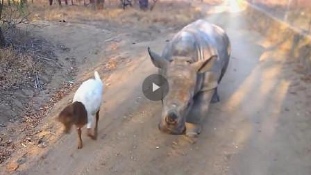小山羊跳来跳去。好奇的犀牛跟着学,竟走出神步伐,看一次笑一次!