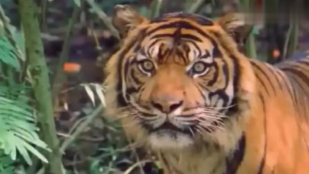 老虎猎杀野水牛,看准目标杀了过去,结果让人傻眼