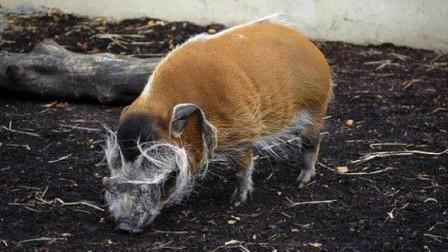非洲红河猪泛滥成灾,当地人头疼不已,中国吃货开心坏了