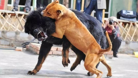 世界第一暴犬,轻松咬碎猛犬高加索,连藏獒都甘拜下风!