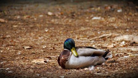 一只野鸭趴在地上,两秒后突然死亡,慢放20倍终于找到真凶!