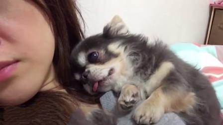 小奶狗把主人当成妈妈,躺在怀里不停撒娇,镜头记录搞笑瞬间!