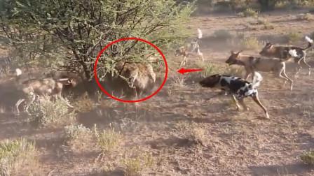 鬣狗抢劫野狗食物,不料遭到野狗疯狂报复,鬣狗无路可退!