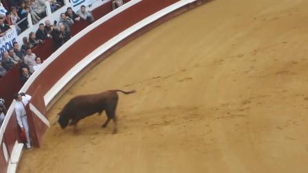 一头公牛刚放出来,就直接朝护栏冲去,下秒爬不起来了