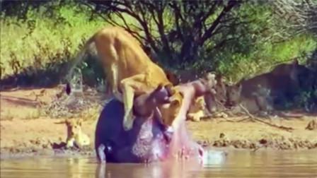 狮子们真是饿坏了,对漂浮的死河马也不放过,险些发生意外