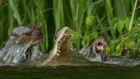 鳄鱼也有天敌!体型娇小,长得萌萌哒,吃鳄鱼就像吃辣条!
