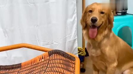 主人说不会摇新买的摇椅,金毛:我会,太招人喜欢了!