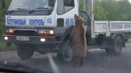 棕熊拦车打劫,熊:行行好我快饿死啦!司机:给你给你