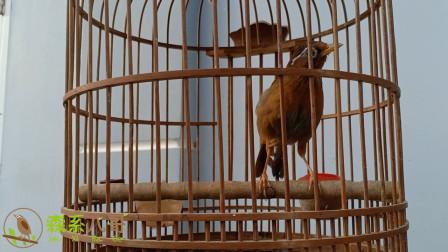 其貌不扬的画眉鸟,在主人的精心驯养下,发出了美妙的歌声!