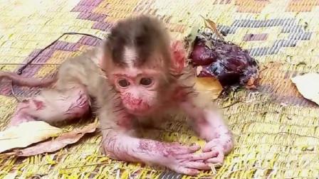 小猴子刚出生就被抛弃,拼命想要找妈妈,谁知连走路的力气都没有