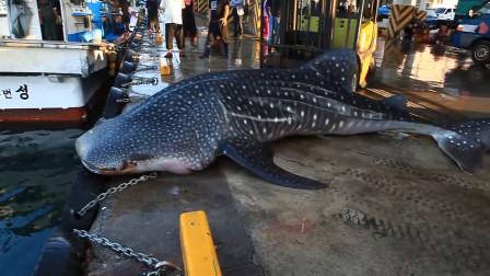 一头鲸鲨跳上岸边,众人脸色大变,鲸鲨:你们都别动,本鲨自己下去